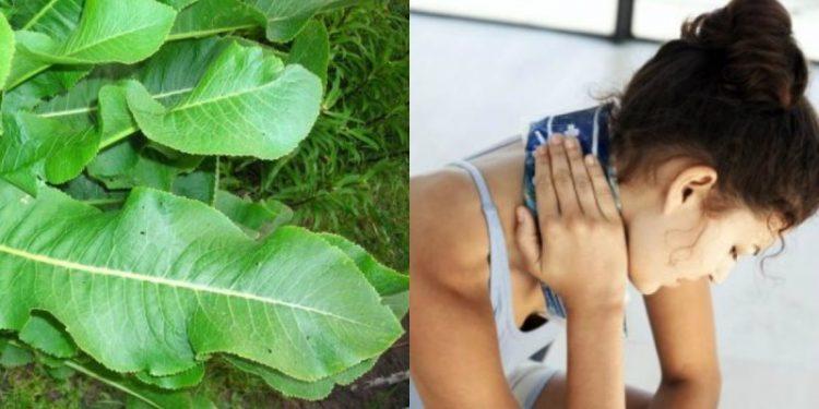 Компресс из листьев хрена можно делать не чаще трёх раз в неделю