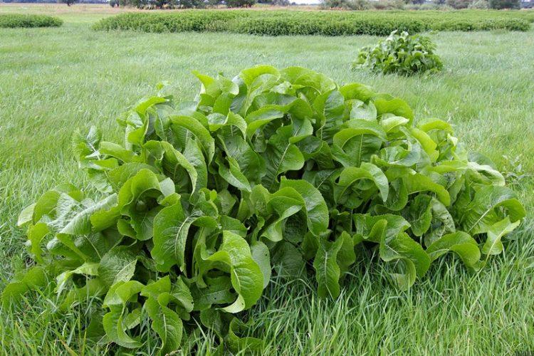 Листья хрена богаты витаминами и минералами