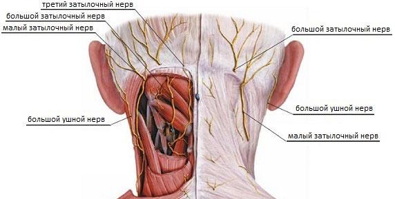 Расположение затылочных нервов