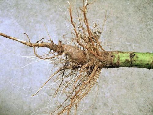 Из корня подсолнуха готовят отвар